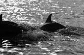 Dolphins in Indian ocean near Zanzibar Africa poster