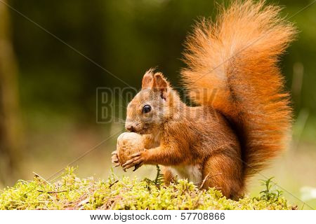 Squirrel with nut on mossy green grass poster