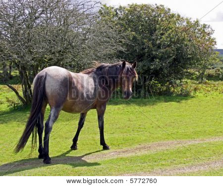 Wild horse in natural environment on Bodmin Moor, Cornwall, UK poster