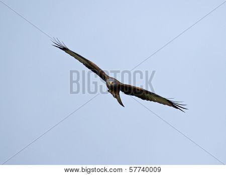 Juvenile Red Kite soaring looking at camera poster
