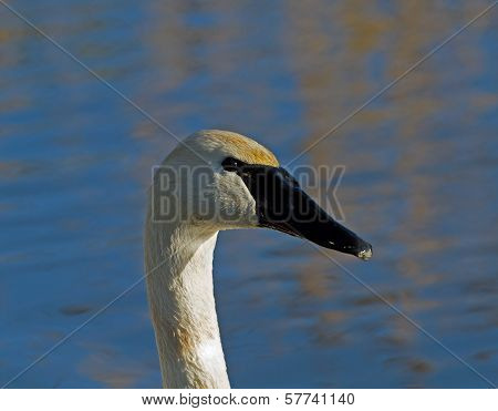 Head shot of adult Trumpeter Swan with reflection poster