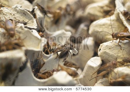 A Lot Of Crickets