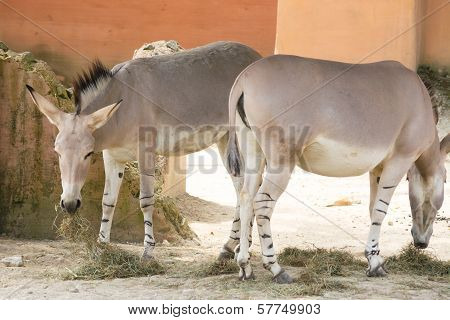 Two Donkeys Grazing Grass In An Abandoned Yard