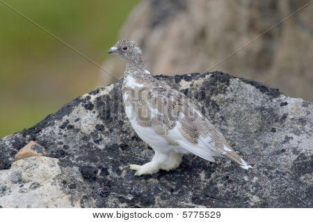 Ptarmigan (lagopus Mutus)