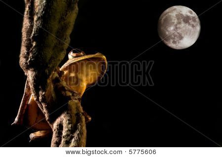 Tree Frog looking at the moon