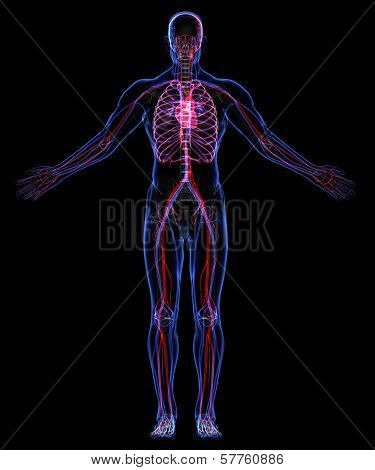 Human Skeleton And Circulatory System