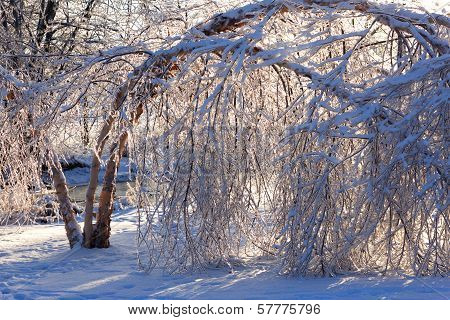 Damaged Trees After An Extreme Ice Storm.