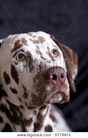 Begging Dalmatian