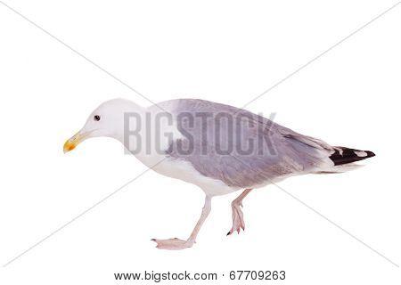 European Herring Gull, 2 years old, on white