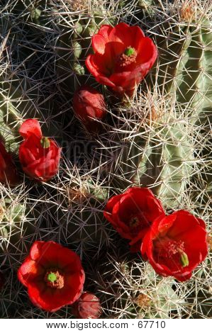 Claret-cup Cactus In April