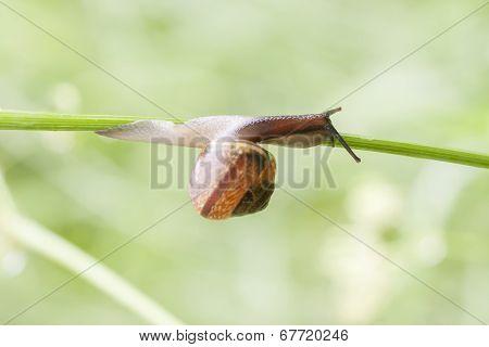 Snail Crawls On A Plant Straw