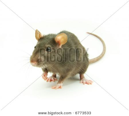 funny rat isolated on the white background poster