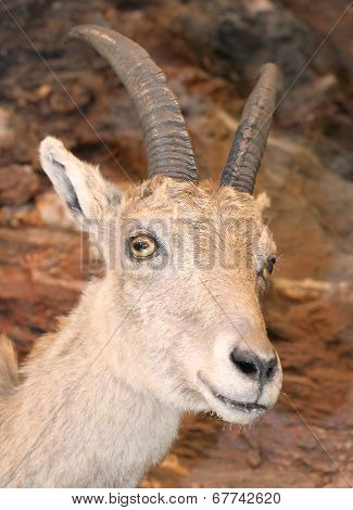 Beautiful Young Ibex In The Rocks Of The Alps