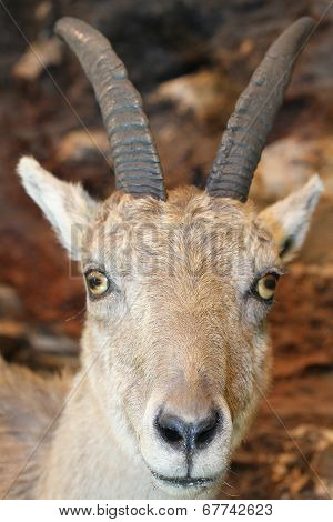 Ibex In The Rocks Of The Alps