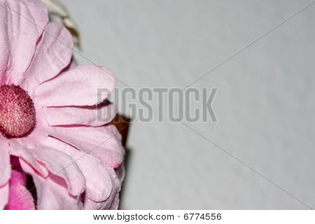 Pink Daisy On White
