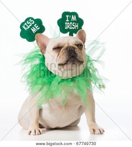 St Patricks Day dog - french bulldog