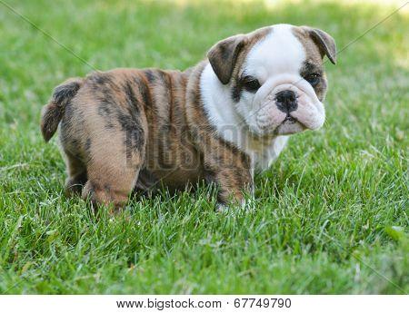 cute english bulldog puppy in the grass