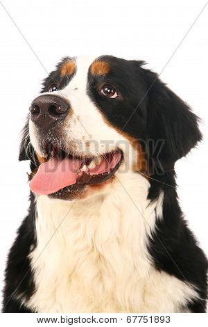 Bernese mountain dog on white