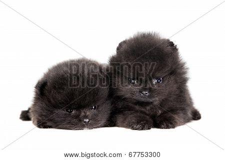 Two Pomeranian Puppies on white