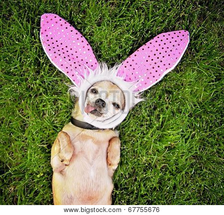 a cute chihuahua laying in the grass with his tongue out and bunny ears on