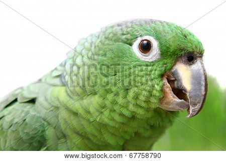 Mealy Amazon parrot on white background