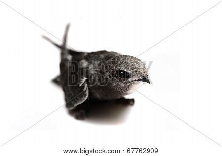 Common Swift on white