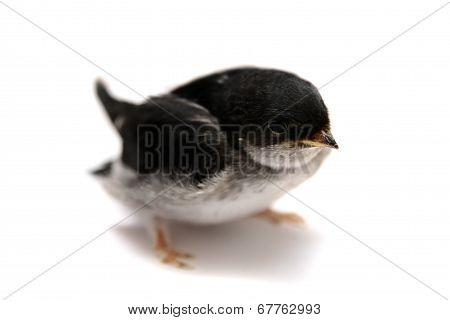 Baby bird of Sand Martin swallow, Riparia riparia, isolated on white poster