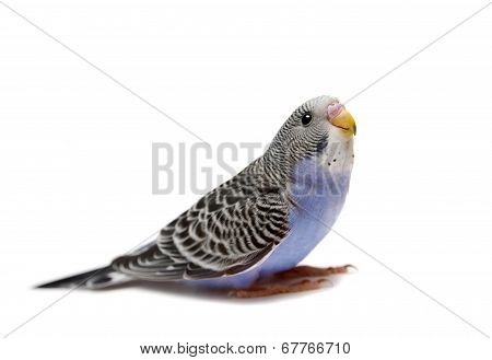 Budgie 1,5 mounths on white