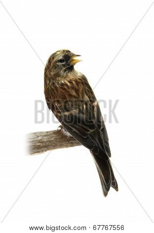 Common Redpoll on white