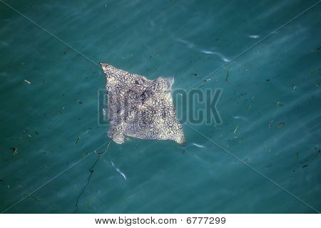 A spotted eagle ray near the surface of the ocean shot from above (Florida Keys) poster
