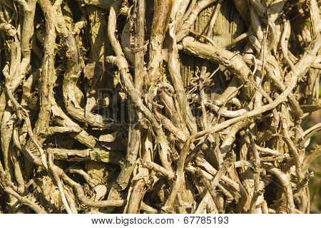 Hedera Helix , Close Up Of Tangled Ivy Vines Without Leaves.