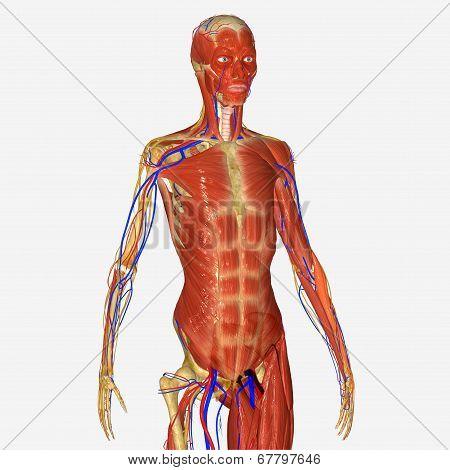 Muscular skeleton