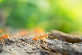 Macro shot of ant following the leader across the cracked wood in natural background poster