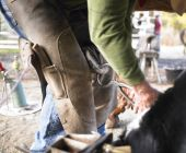 View of farrier clipping horse hoof. Horizontal shot. poster