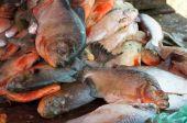a lot of fresh piranha at fish market poster