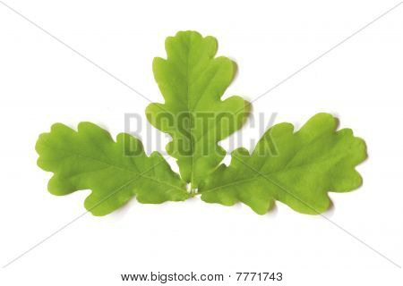 Three Oak Leaves