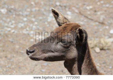Baby Deer Brown