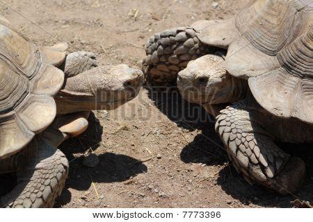 Two Tortoises Meeting