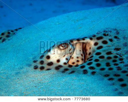 Honeycomb whipray