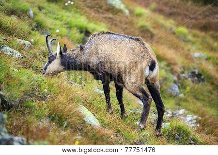Mountain Goat, Chamois