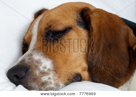 Tricolor Beagle Puppy Sleeping