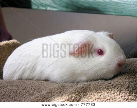 Coconut the guinea pig