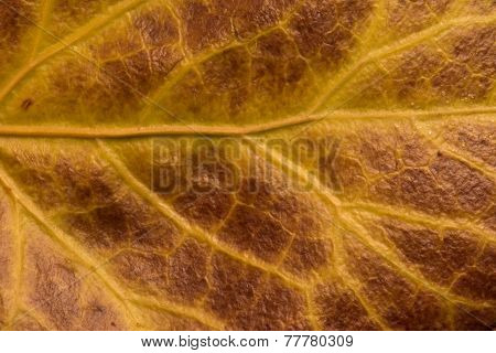 brown ivy leaf