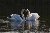 This pair of Mute Swans nuzzle each other and create a heart shape that reflects their emotions on a pond in Rockport, MA. poster