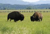 Bisons grazing in Grand Teton national park poster
