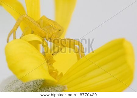 Yellow daisy crab spider waiting in ambush poster