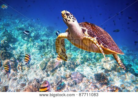 Hawksbill Turtle - Eretmochelys imbricata floats under water. Maldives - Ocean coral reef. Warning - authentic shooting underwater in challenging conditions. A little bit grain and maybe blurred. poster