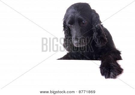 Cocker Spaneil Dog