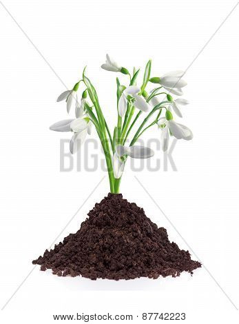 Beautiful Snowdrop Flowers Grouth In Soil Isolated On White