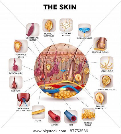 Skin Anatomy In The Round Shape